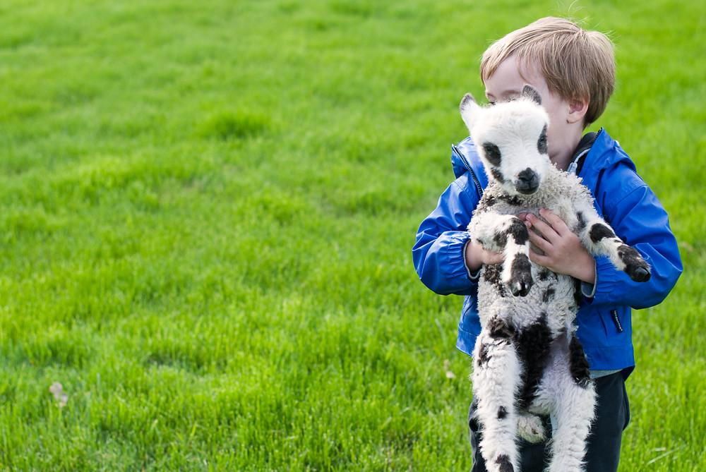 Lamb Cuddles