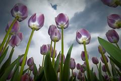 Dutch Tulps (Jan Linskens) Tags: flower nature natuur bloemen tulpen tulp platinumheartaward castenray janlinskens vanagram fotoclubvenray flickrunitedaward