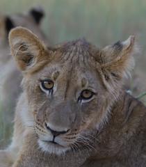 Hübscher Mini-Löwe (jaffles) Tags: nature animals southafrica tiere nationalpark wildlife natur lion olympus afrika predator mammals kalahari e5 löwen raubtiere raubkatzen kgalagadi