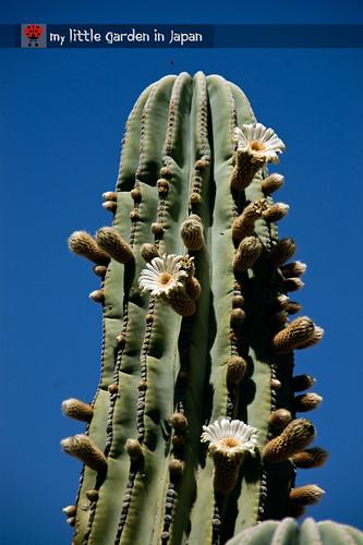 Spring-in-Sonora-desert-8