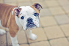 last one tonight (yoursournotes) Tags: puppy bulldog molly englishbulldog 4mos