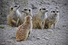 Meerkat (Meneer Zjeroen) Tags: zoo meerkat nikon rhenen ouwehands meneer d90 70300vr zjeroen