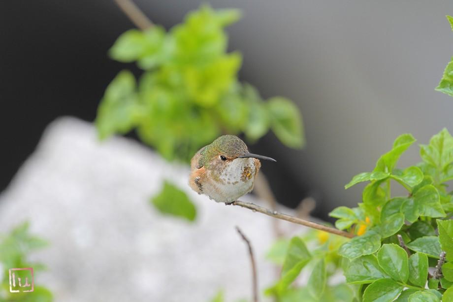 Allen's Hummingbird 042411-3