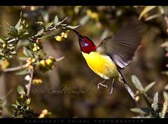 Mrs Gould's Sunbird (Male) (Z.Faisal) Tags: bird bhutan faisal aethopyga zamiruddin aethopygagouldiae mrsgouldssunbird sengore zfaisal begomgoldermoutushi gouldia