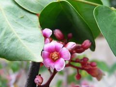 Flor de carambola (Viva as Cores - Mrcia Aki) Tags: pink flowers naturaleza flores flower verde green nature fleur natureza flor rosa fiori fiore flordecarambola