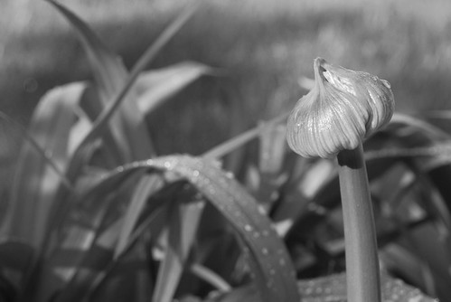 romantic garden photo allium bud