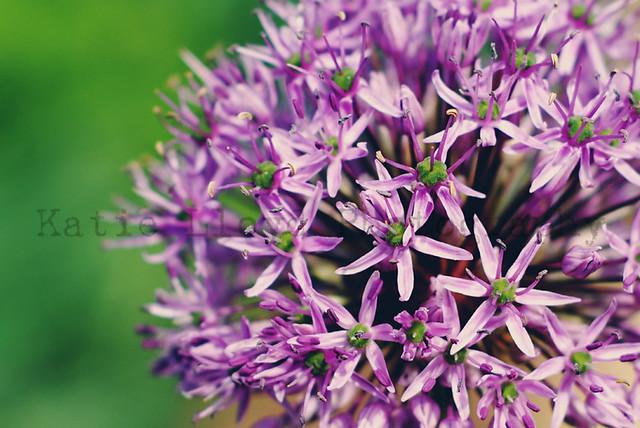 Allium Macro