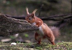 Red Squirrel in Northumberland - doing push ups 'just one more' (www.willdawesphotography.co.uk) Tags: red england squirrel northumberland will bbc dawes willdawes