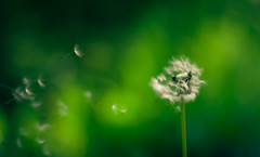 Fallschirme (Paxx Photographie) Tags: green nature bayern 50mm natur grn pusteblume blowball paxx