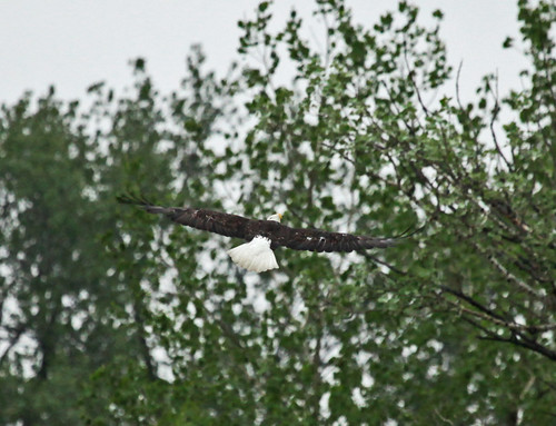 Bald Eagle Flying Over A Pond by JKissnHug