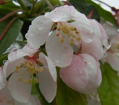 AppleBlossoms - Cropped (dlv1) Tags: pink white tree apple nikon blossoms coolpix appleblossoms s8100