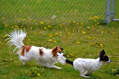 Running (Pappup2010) Tags: dog pet white black color cute animal butterfly puppy toy play small tan sable canine running papillon tricolor pup breed tri pap toybreed butterflydog whiteandsable