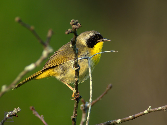 Male Common Yellowthroat, May 2011