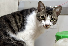 () Tags: cat kitten chat kitty  alleycat  moggy   felissilvestriscatus