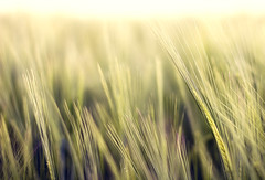 everything's magic (Maegondo) Tags: nature field grass canon germany bayern deutschland bavaria 50mm cornfield soft dof bokeh magic 14 simplicity fields dreamy simple depth creamy ingolstadt eos550d