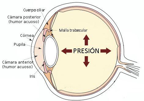cuerpo ciliar, malla trabecular, córnea, iris y humor acuoso
