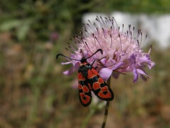 Zygaena fausta (Nelson Fonseca (Arade)) Tags: faro lepidoptera algarve estoi zygaenidae zygaenafausta
