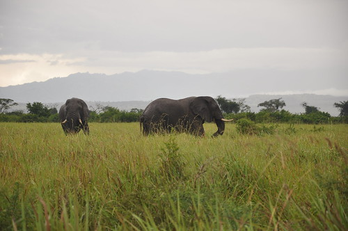 Elephants in Queen Elizabeth NP