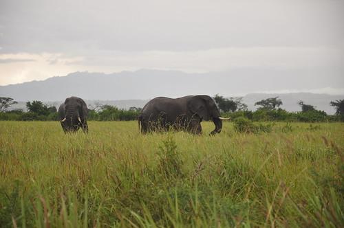 Elephants in Queen Elizabeth NP