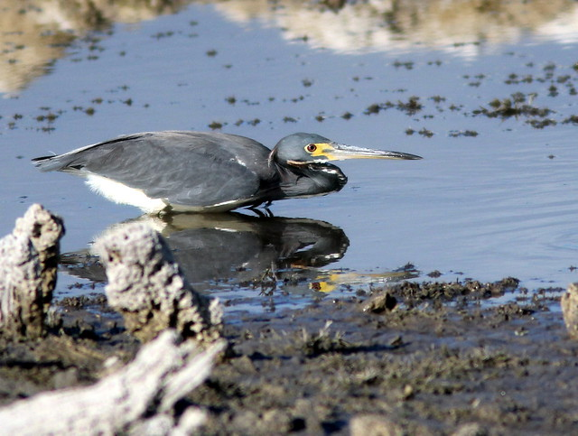 Tricolored Heron stalking a fish 2-20110602