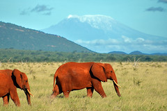 Elephants and Kilimanjaro (Thomas Roland) Tags: africa park morning travel wild mountain elephant kilimanjaro landscape volcano view kenya african wildlife east safari national afrika savannah elefant tsavo savanna udsigt vulkan voi rejse bjerg savannen