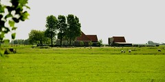 Old Mc'Donald had a farm, e-ya-e-ya-o ~ (e-sun1) Tags: farming sheeps thenetherland greeneries countrysideholland