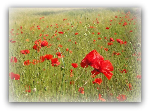 Poppies Norfolk