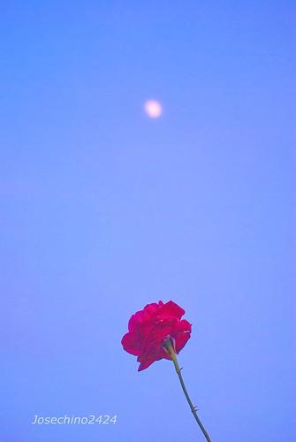 Encuentro de rosa y luna