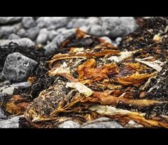 The Sea, when the Sea is gone (il chirurgo matto ) Tags: ireland irish brown seaweed galway closeup aperture clare bokeh fine hibernia macdesktop connaught macosxdesktop fineartphotos macintoshdesktop canon5dmarkii gettyimagesireland gettyimagesabstract summertimeireland