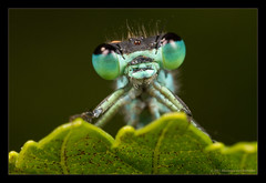 The Look (Moneycue) Tags: blue summer black macro green nature june closeup canon germany azure damselfly waterjuffer mosel mpe65 moneycue meandmrsanchez elitedragonsanddamsels
