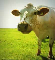 Delicious! (Jaana-Marja) Tags: grass cow iceland eatinggrass fljtshl