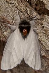Sparshall's Moth (zosterops) Tags: macro australia lepidoptera notodontidae tasmania hobart ringflash insecta kenkoextensiontubes knockloftyreserve canonmr14ex trichiocercussparshalli canonmacrolensef100mm canoneos550d