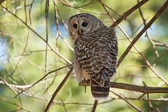 Barred Owl (NicoleW0000) Tags: barred owl strix varia bird watching nature photography wildlife wild birds