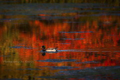 Fall in my Town !!! (Photography by Ramin) Tags: duck reflction water red fall autumn beauty beautyoffeather sunset ottawa canada 2016 wildbirds ngc