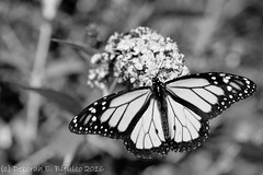 Migrant (dbifulco) Tags: nikkor105mmf28 blackandwhite buddleai flowers garden insect male migrant monarchbutterfly mono nature newjersey purple wildlife
