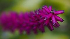 Magenta depth (LenareRose) Tags: flower macro plants moss petals waterbeads stamin roots leaves garden park botanicalgarden closeup macroflowers
