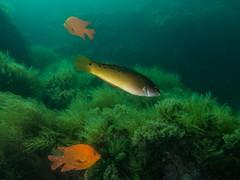 PA070602.jpg (Michael Bartosek) Tags: olympusepl3 catalinaisland olympus1442mm underwater catalina diving california pacificocean