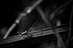 le dur chemin de la vie d'une sauterelle (Mathieu Calvet) Tags: wild blackandwhite macro green nature noir noiretblanc lot vert 100mm 100 et blanc fa sauterelle k5 sauvage midipyrénées blackandwhitepentax justpentax pentaxart pentaxk5 pentaxfa100mmf28macro