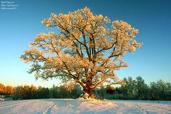 Gold Oak (Sigurd R) Tags: winter snow tree norway norge oak nikon fuji 100 nikkor fujichrome tre fm3a eik sensia eika 20mmf28d s 20mmafd