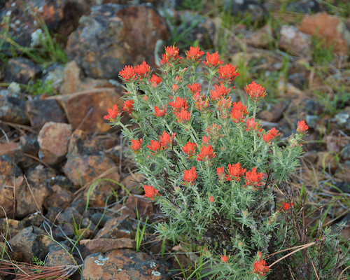 California fuchsia and rocks