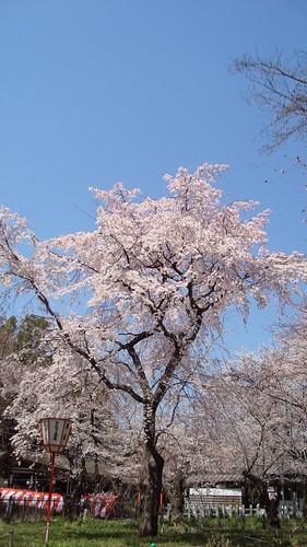 2011/04 平野神社 #02