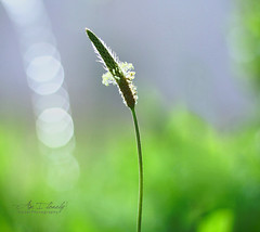 Am I lonely ! (Faisal | Photography) Tags: flower green water colors canon eos dof natural bokeh 14 usm 50 ef plantain canonef50mmf14usm 50d canoneos50d faisal|photography