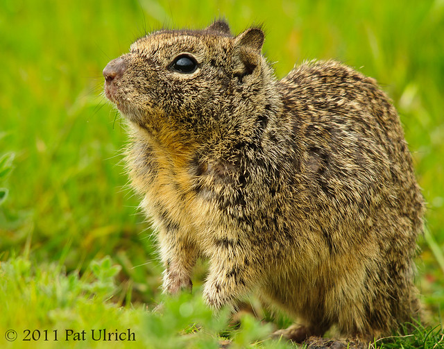 California ground squirrel in cute pose - Pat Ulrich Wildlife Photography