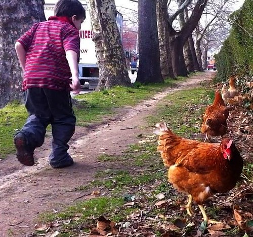 chasing chickens chestnut hill