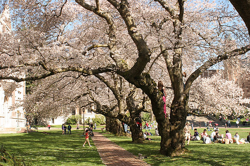 Cherry trees at UW Quad
