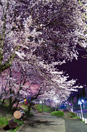 Cherry blossoms in night 06