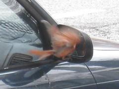 """""""You talkin' to me?"""" (part 2) (Baltimore Bob) Tags: bird nature cardinal baltimore"""