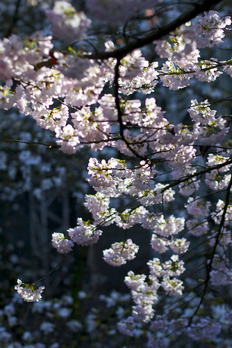 Sunlit Cherry Blossoms
