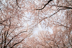 Look up.. (Cik Kiah) Tags: pink japan cherry spring nikon blossoms hanami okayama d300 takebenomori 花見 後楽園 建部の森 korakuen