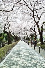 Sakura Street (guen-k) Tags: japan tokyo sigma  sakura minatoku dp1